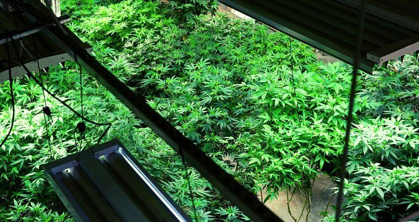 How to grow Marijuana   Beginner's Guide to Growing cannabis indoor